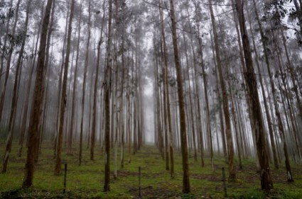 Genetically engineered eucalyptus trees approved in Brazil. How long before we see GE tree monocultures in REDD?